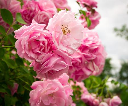 Roze roos bloemen op de rozenstruik in de tuin in de zomer
