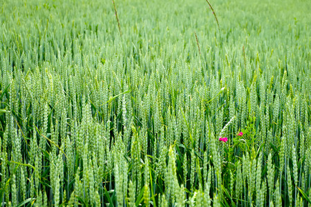 field crop: Wheat field and countryside scenery, crop of green wheat