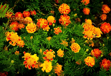 garden flowers: Yellow and orange marigold flowers in the garden in the fall Stock Photo