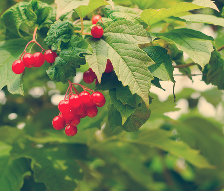 guelder rose: Bunches of red berries on Guelder rose or Viburnum opulus shrub, summer season