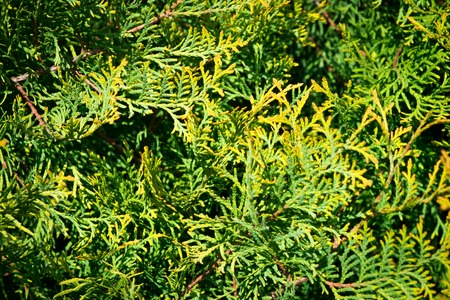 thuja occidentalis: Leaves of pine tree Thuja, yellow and green background.