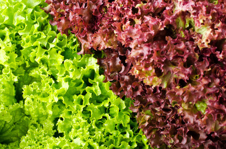 mixed wallpaper: green and red lettuce salad, Lollo Rosso, for backround.