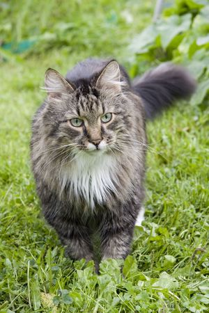 The cat is walking on the grass. The cat is looking fixedly at the camera.  Stock Photo