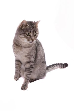 pussy cat: Fluffy cat is sitting. Pussy cat raise leg. Isolated on a white background. Stock Photo