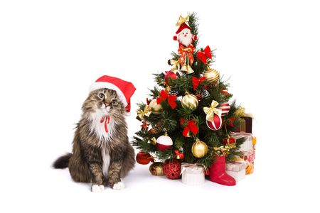 Santa cat is dressing up in red Christmas cap and sitting by Christmas tree on white backgrounds. Domestic cat in New Years hat and is looking fixedly at the camera. Year of tiger. Year of cat (rabbit).
