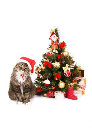 pussy tree: Santa cat is dressing up in red Christmas cap and sitting by Christmas tree on white backgrounds.Domestic cat in New Years hat and is looking fixedly at the camera. Year of tiger.Year of cat (rabbit) Stock Photo