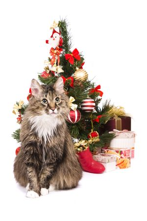 christmas pussy: �at is sitting by Christmas tree on white backgrounds. Domestic cat is looking fixedly at the camera. Year of tiger. Year of cat (rabbit).