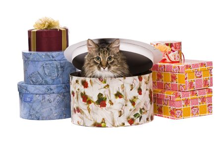 Cat is peeking out of a gift box Domestic cat is sitting inside of a gift box on white background.