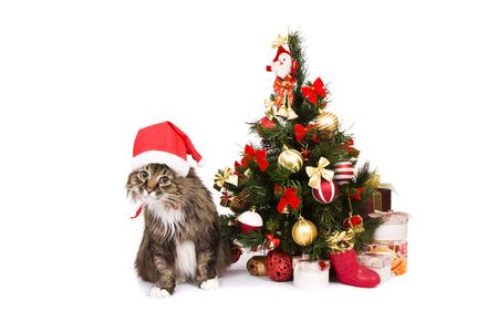 Santa cat is dressing up in red Christmas cap and sitting by Christmas tree on white backgrounds.