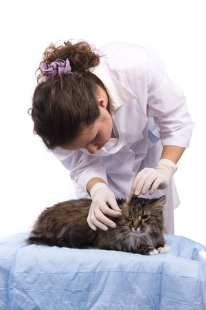 Pretty vet and feline subject.  Veterinarian have a  medical examination a cat. White background. Stock Photo