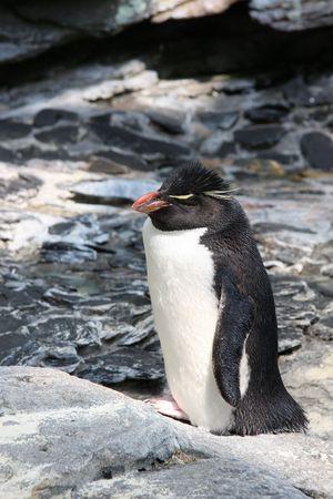 Emperor penguin outside. photo