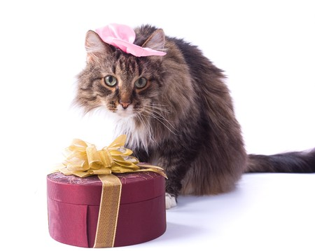 Cat with pink ribbon bow is lying near gift on a white background