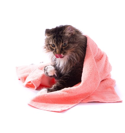 The cat is licking its fur and is lying  on bath towel. Pussy cat is lying on the peach-coloured towel. Isolated on a white background. photo