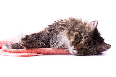 The cat is licking its fur and is lying  on bath towel. Pussy cat is lying on the peach-coloured towel. Isolated on a white background.