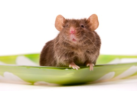 Small brown mouse on a white background. Interested laboratory mouse looking on you.