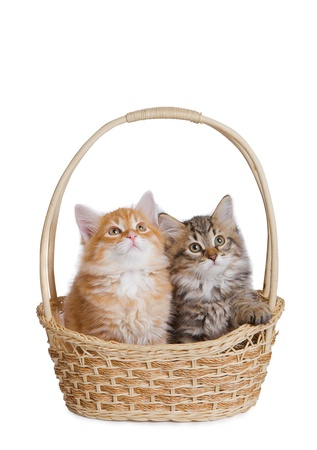 Two fluffy little kitten