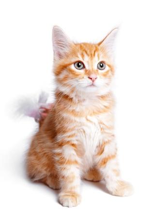 Persian  ginger kitten