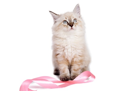 Cute british kitten playing with pink ribbon