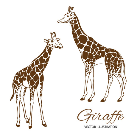 camelopardalis: Two giraffes hand drawn vector illustration