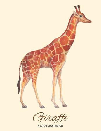 camelopardalis: Realistic giraffe hand drawn watercolor and colored pencils vector illusration