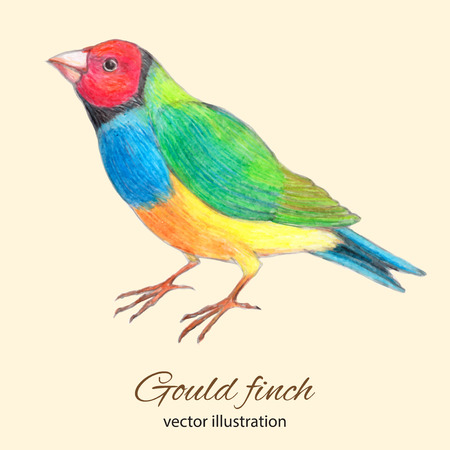 finch: Gould finch watercolor and colored pencils vector illustration Illustration