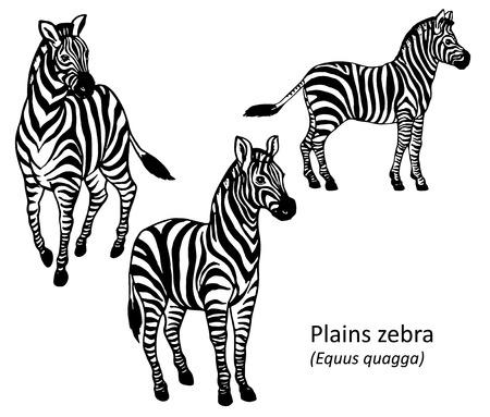 zebra: Aclara la cebra dibujado a mano ilustración vectorial blanco y negro