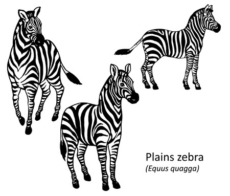 zebra pattern: Plains zebra black and white hand drawn vector illustration Illustration