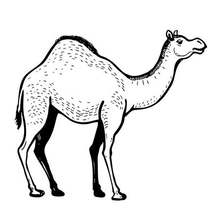 dromedary: Dromedary camel vector hand drawn illustration