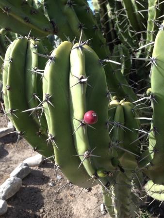Tuna fruit between thorns in cactus Фото со стока