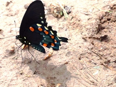 Gorgeous black butterfly drinking water