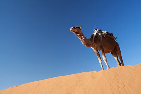 Camels at dune in desert Sahara in Morocco Stock Photo