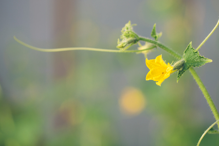 cucumber in the garden. flowering cucumber Stock Photo