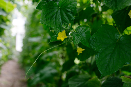germinación: Cucumber growing in garden.