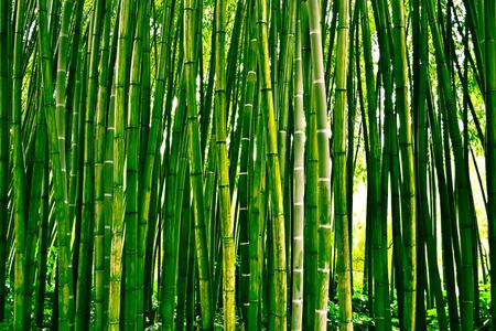 bambu: Bambusoideae bosque de bambú Foto de archivo