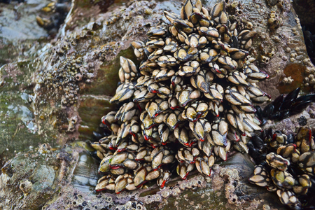 Goose Barnacles attached to rocks background Stock fotó