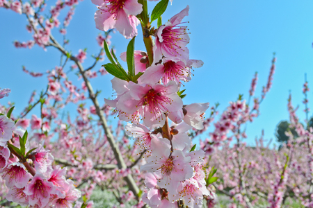 Apricot tree flowers background