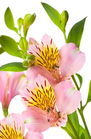 Macro shot of a pink flowers, isolated on white