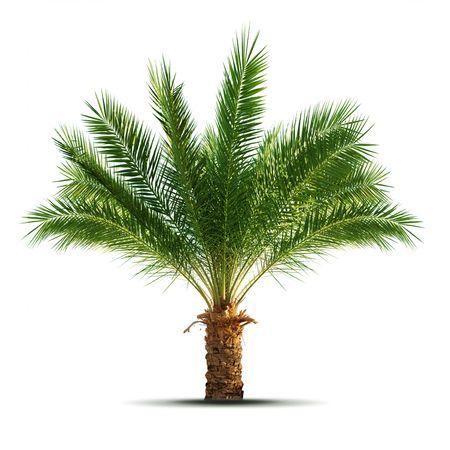 Palme, die isoliert auf weißem Hintergrund  Standard-Bild