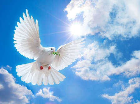 white dove: Paloma en el aire con alas abiertas en frente del sol