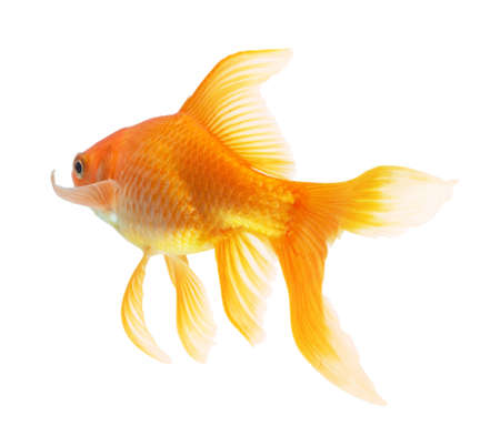gold fish isolated on white Stock Photo - 6019742