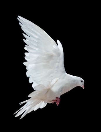 bird flying: A free flying white dove isolated on a black background
