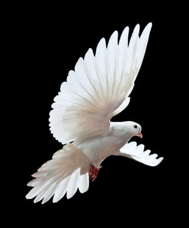 A free flying white dove isolated on a black background Stock Photo - 6019683