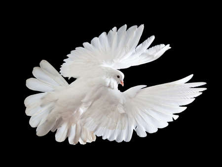 A free flying white dove isolated on a black background photo