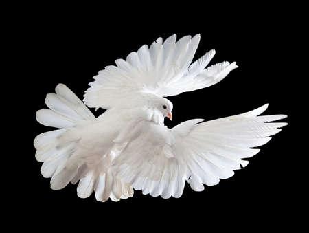 pigeons flying: Una paloma blanca vuelo libre, aislada en un fondo negro