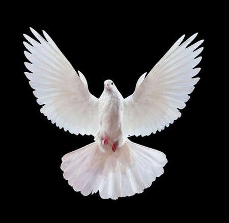 paloma: Una paloma blanca vuelo libre, aislada en un fondo negro