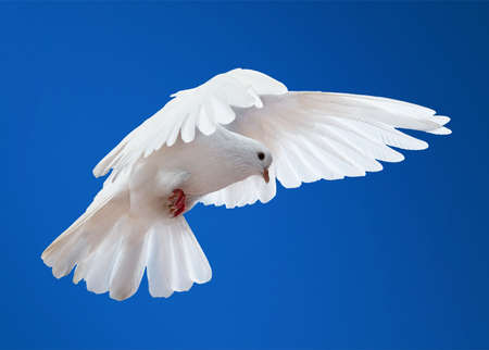 white flight feathers: Dove in the air with wings wide open in-front of the sun