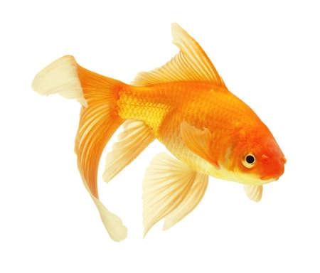 peixe dourado: gold fish isolated on white Banco de Imagens