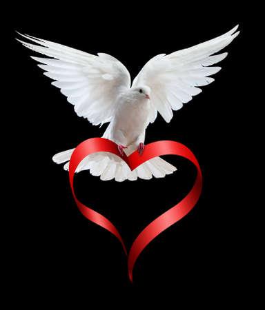 colomba della pace: Una colomba bianca volo libera, isolata su uno sfondo nero