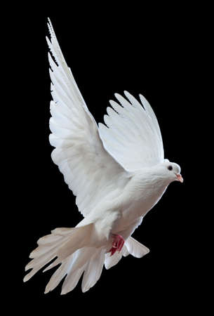 A free flying white dove isolated on a black background Stock Photo - 7478307