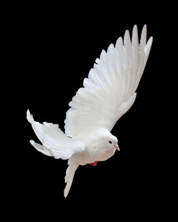 dove in flight: A free flying white dove isolated on a black background